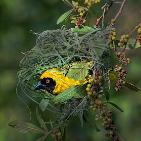Nesting Weaver by Richard Wicht - Animals Birds ( bird, wild, wild life, nature, nesting, nest, south africa, wildlife, nature up close, nests, africa, birds, bird photography, birding,  )