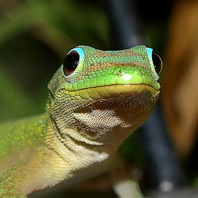 Gold Dust Day Gecko by Daggi Meyer - Animals Reptiles ( #GARYFONGPETS, #SHOWUSYOURPETS )