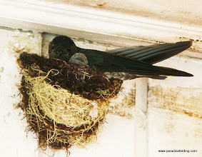 Photo: Glossy Swiftlet, with a very young nestling