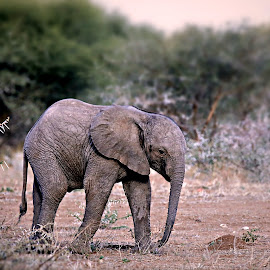 Baby Elephant by Pieter J de Villiers - Animals Other