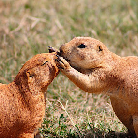 Prairie Dogs by Amelia Rice - Animals Other Mammals ( prairie dogs, animals, kissing, nature, wildlife, outside,  )
