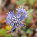 Cardo-Azul