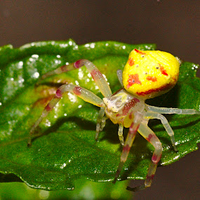Crab spider by Johann Spies - Animals Insects & Spiders ( macro, crab spider, tamron 90mm )