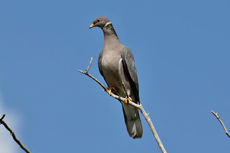 Photo: Band-tailed Pigeon