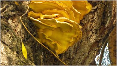 """Photo: Iasca galbenă (Laetiporus Sulphireus) - ciupercă parazită. """"o delicatesa cu gust de pui"""" crescuta pe salcia din Parcul Central - 2019.10.20 - în Turda."""