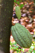 Photo: cacao
