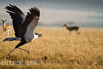 Photo: Secretary Bird