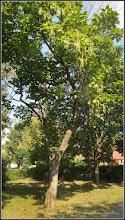 Photo: Arbore Trompeta - (Catalpa bignonioides)  - de pe Calea Victoriei, alee Mr.2 - 2016.09.13