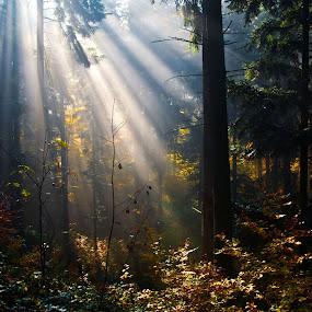 Sunshine in forest by Jana Černošková - Landscapes Forests ( forest, sun rays, sun,  )