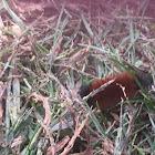 Woolly Bear Caterpillar (Isabella Tiger Moth)