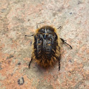 Hairy Rose Beetle