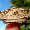 Diagrapta moth