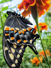 Photo: Colorful butterfly wings and orange flowers at Cox Arboretum Butterfly House in Dayton, Ohio.
