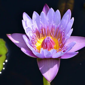 Purple Water Lily by Ruth Overmyer - Flowers Single Flower (  )