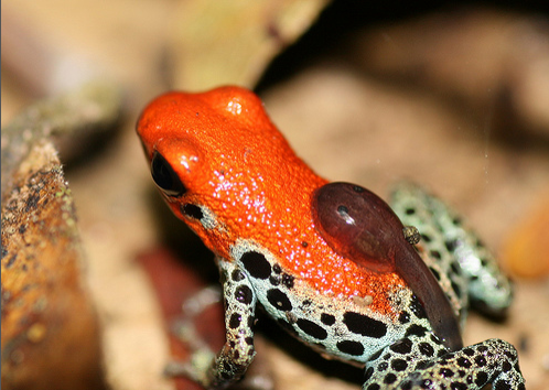 Dart frog with tadpole