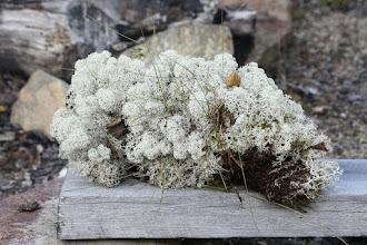 Photo: Jäkälää nostettuna