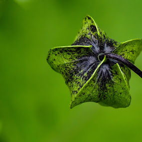 small & green by Gerd Moors - Nature Up Close Other plants ( plant, macro, green, dof, bokeh, close up, flower,  )