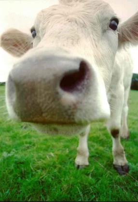 cow-02.jpg
