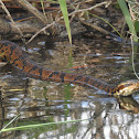 Eastern Cottonmouth (aka Water Moccasin)
