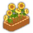 ひまわりの盆栽