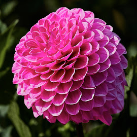 Dahlia 8583~ 1 by Raphael RaCcoon - Flowers Single Flower