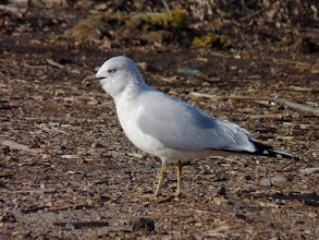 Photo: This Ring-billed Gull looked like it was trying to cough something up.