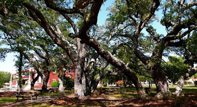 Photo: Old live oaks on courthouse square