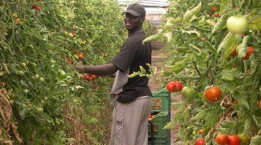 Menos tomate para la próxima campaña