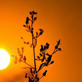 The goldsunset by Jaguar Ricko - Landscapes Sunsets & Sunrises ( photographer )