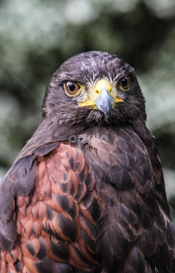Harris look by Garry Chisholm - Animals Birds ( bird, garry chisholm, nature, wildlife, prey, raptor, harris hawk )