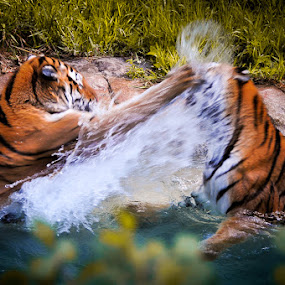 Sisters water fight by Michael Haagen - Animals Lions, Tigers & Big Cats ( cat, sisters, tiger, water, motion blur,  )
