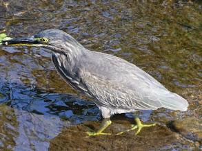 Photo: 撮影者:広野 勝 ササゴイ? タイトル:餌を漁る水鳥 観察年月日:2014年9月5日 羽数:1羽 場所:八王子市横川町 大沢川と城山川の合流点の大沢川の少し上流 区分:行動 メッシュ:3k コメント:ゴイサギよりもササゴイと思います。ここでは初めて見ました。人見知りせずせっせと小魚を漁っていました。