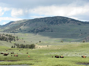 Photo: Buffalo grazing in Yellowstone National Park