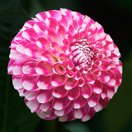 Dahlia 8958~ by Raphael RaCcoon - Flowers Single Flower