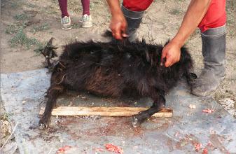 Photo: 03338 ナムジ家/ヤギ石焼料理準備/ボードック/首から下の皮を筒状に剥いだ中に解体した肉と焼石を詰めもどして、外側から火で焼く