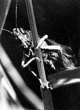 Photo: Le joueur de contrebasse. Minuscule criquet des herbes. 1972.