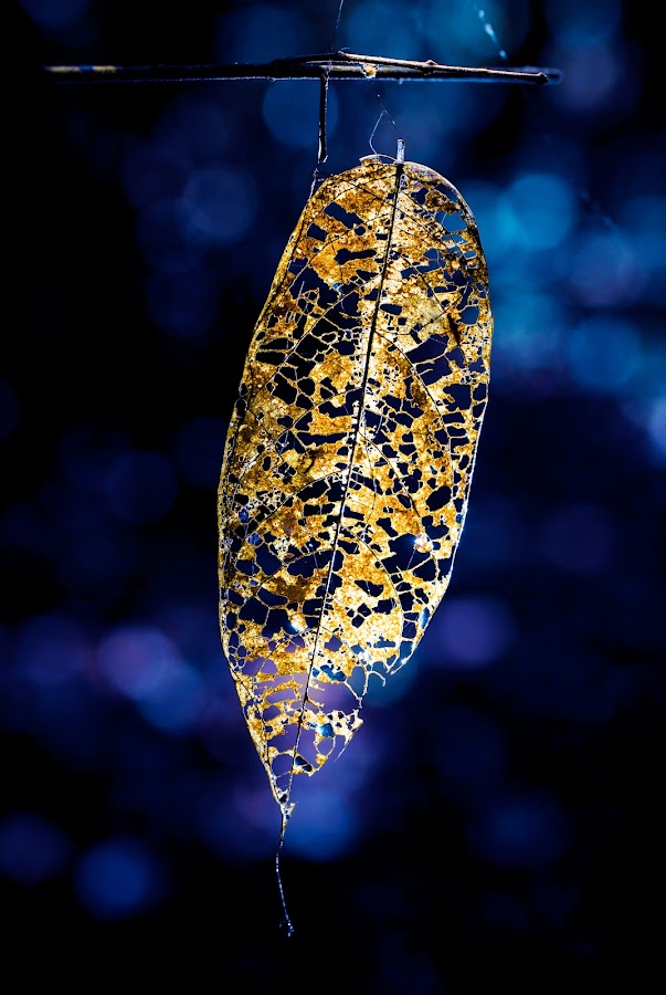 Old Leaf by Tuan Pham - Nature Up Close Leaves & Grasses ( macro, blue, vietnam, leaf, canon )