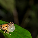 Anil's bush frog