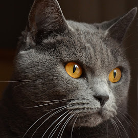 Emeraude 4 by Serge Ostrogradsky - Animals - Cats Portraits ( chartreux,  )
