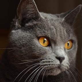 Emeraude 4 by Serge Ostrogradsky - Animals - Cats Portraits ( chartreux,  )