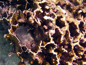 Photo: An old mostly dead colony with coral (Montasrea cavernosa) and branching calcareous seaweeds inside the boxes.