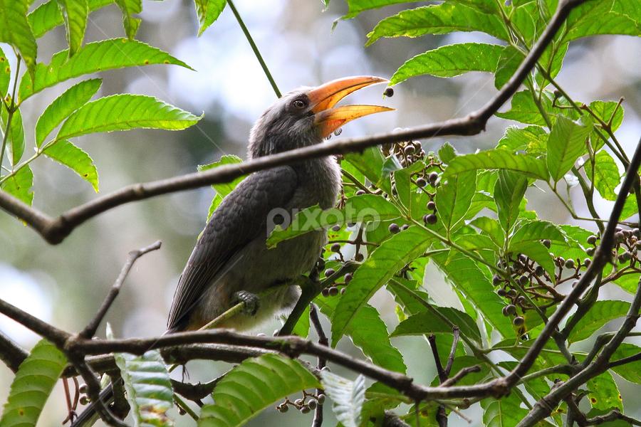 Malabar grey hornbill / Ocyceros grisues by Faisal Magnet - Animals Birds