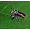 Velvet ant 絨蟻蜂