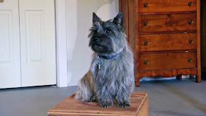 Bernese Mountain Dog, Afghan, Portuguese Water Dog, Cairn Terrier, Alaskan Malamute thumbnail
