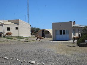 Photo: Guanaco at ranger station