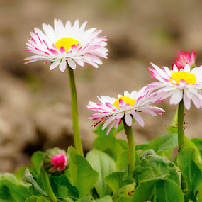 spring by Costin Mugurel - Flowers Flower Gardens ( spring colorful flowers, nature, green, flowers, garden, spring )