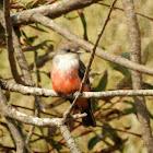 Vermilion Flycatcher (immature)