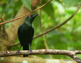 "Photo: Very common ""strigata"" subspecies of the Asian Glossy Starling, Sepilok"