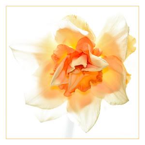 20150410_Daffodill_7567 as Smart Object-1.jpg