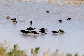 Photo: White-faced ibises
